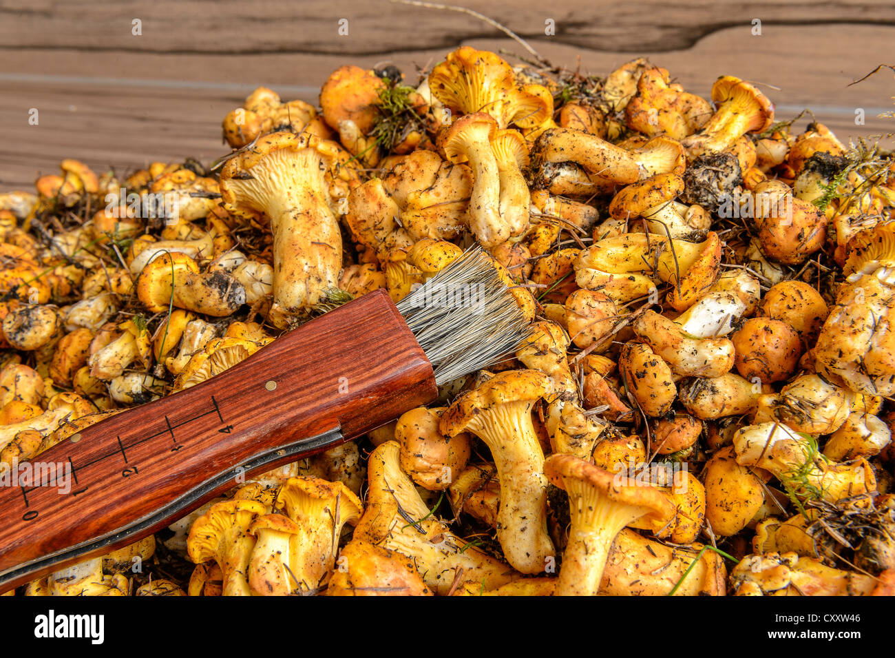 Fresh chanterelles or golden chanterelles (Cantharellus cibarius), uncleaned, with a mushroom brush - Stock Image