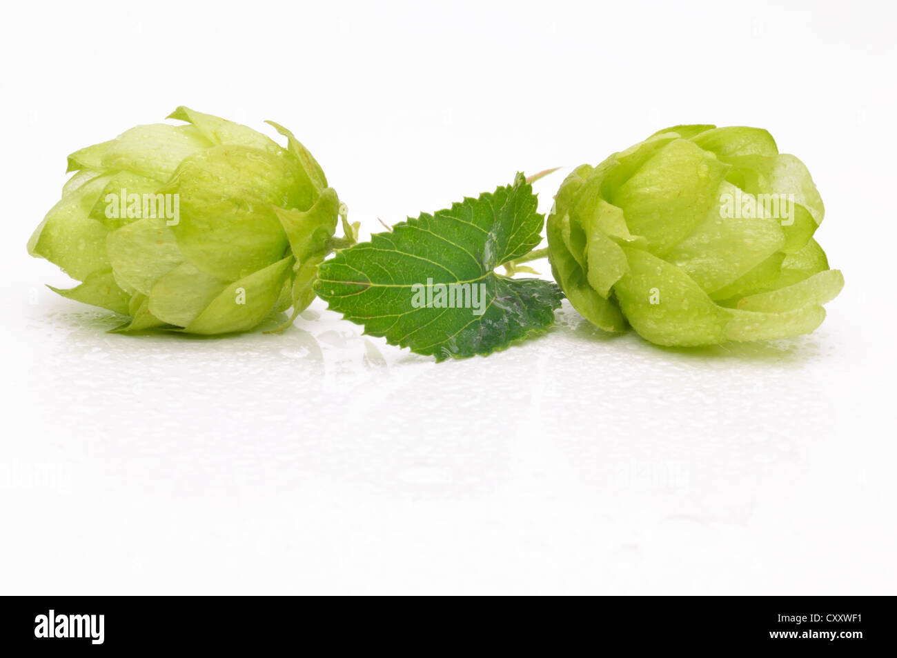 Green hop cones on a white background close-up - Stock Image