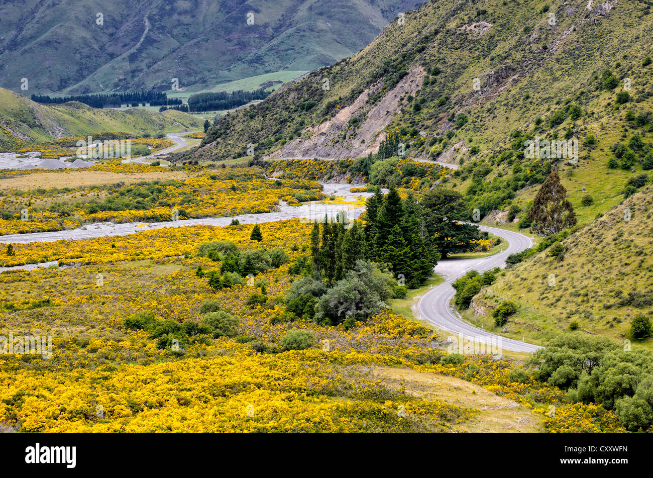 Country road winding through a valley with yellow flowers, driving on the left, Arthur's Pass Road, South Island, - Stock Image