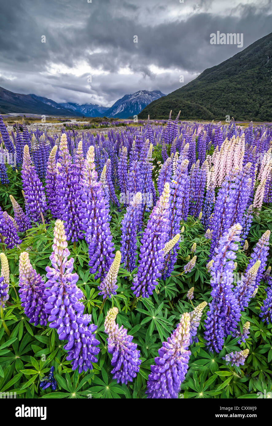 Purple lupins with pink tips (Lupinus) at Arthur's Pass National Park, vast valley at back, South Island, New - Stock Image