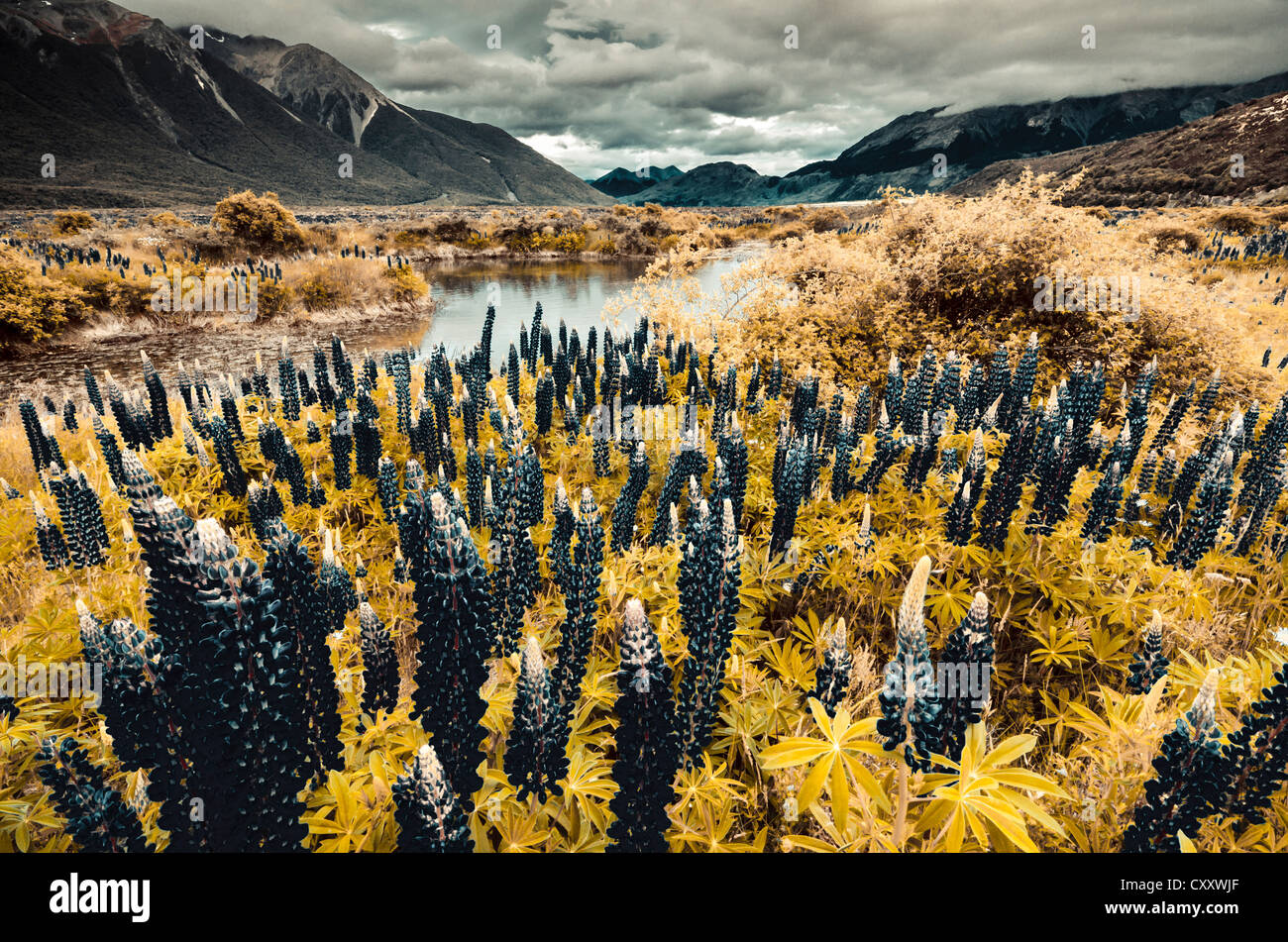 Lupins (Lupinus) at Arthur's Pass National Park, colour distortion, South Island, New Zealand, Oceania - Stock Image