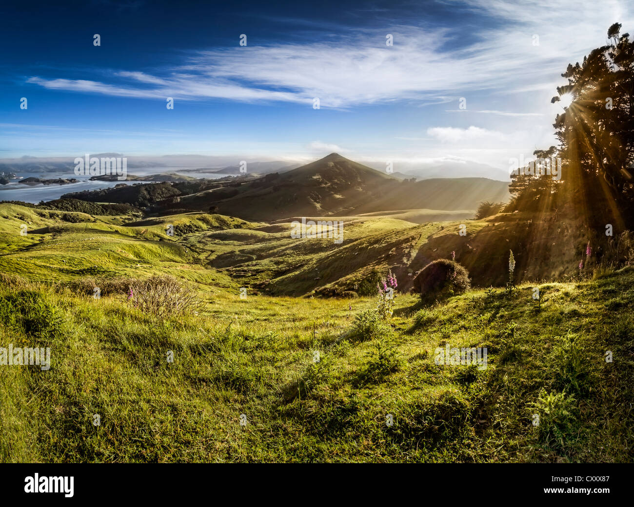 Sheep grazing meadows in raking light, sun rays of the warm morning sun, Hoopers Inlet Bay, Otago Peninsula, South - Stock Image