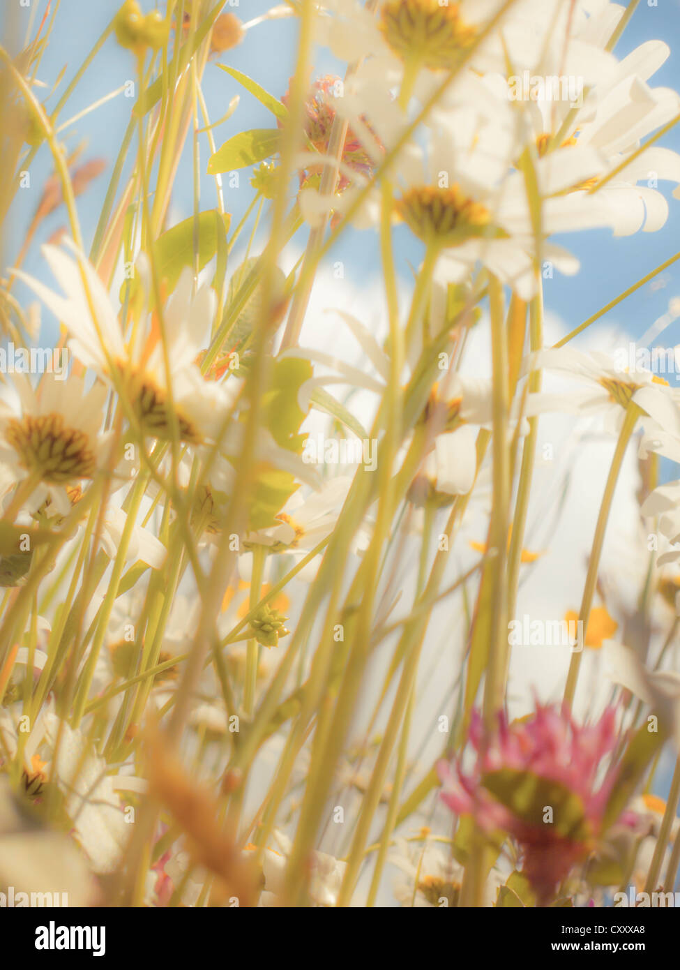 Daisies (Leucanthemum vulgare), flower meadow, from below, worm's eye view, soft look effect - Stock Image