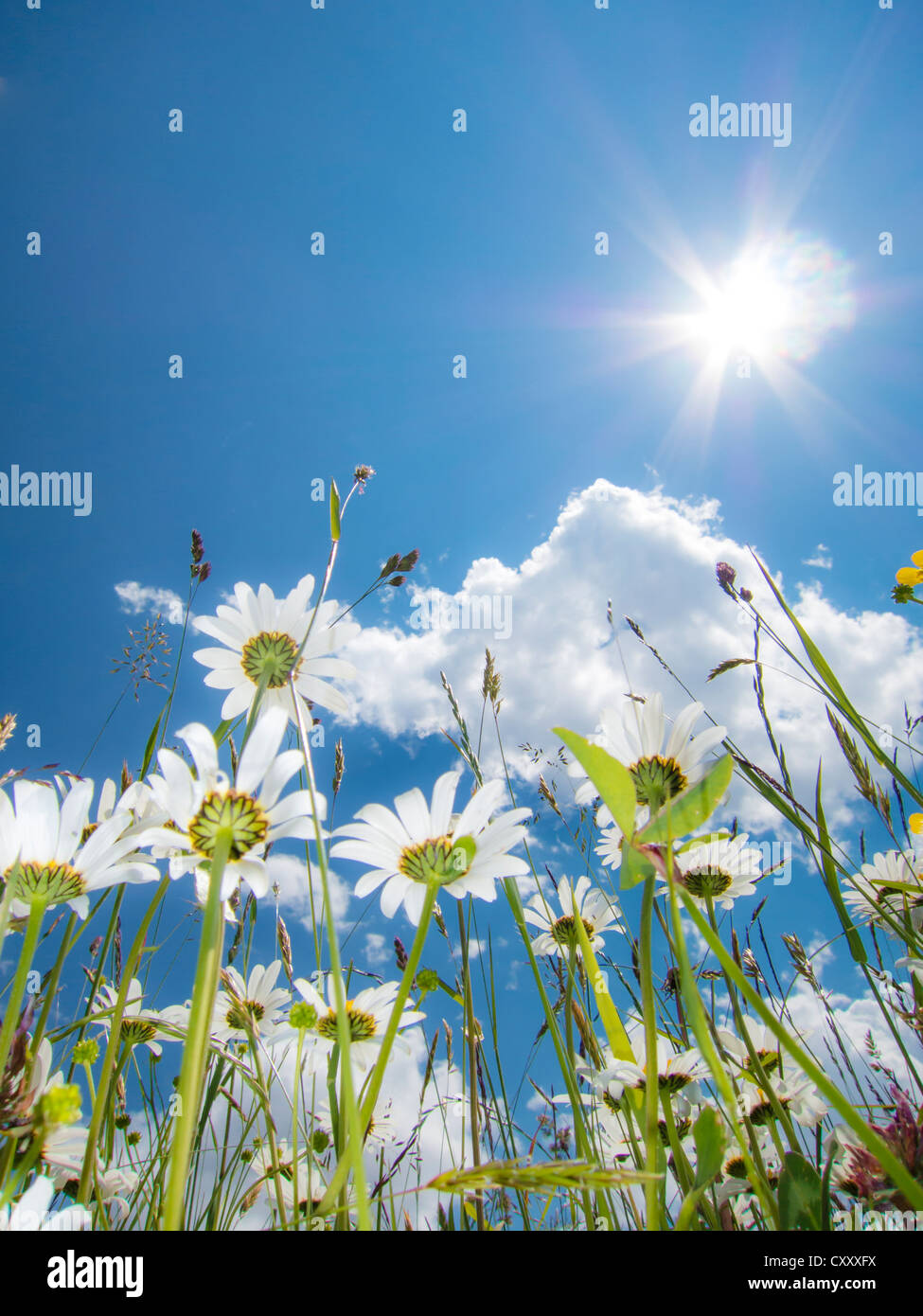 Daisies (Leucanthemum vulgare) from below, flower meadow, worm's eye view, blue summer sky with sun and rays - Stock Image