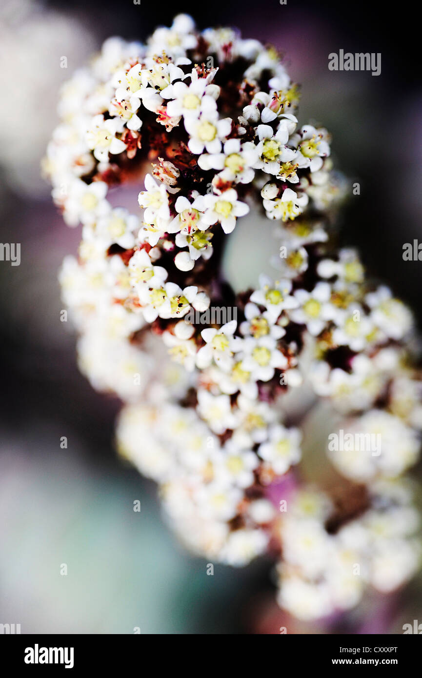 Blossom white and purple - Stock Image