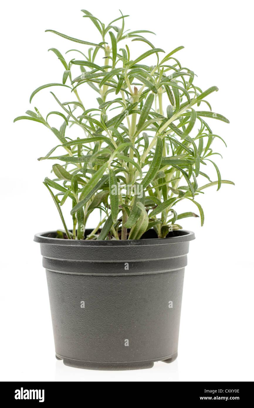 Rosemary Growing In Pot Plant Stock Photos & Rosemary