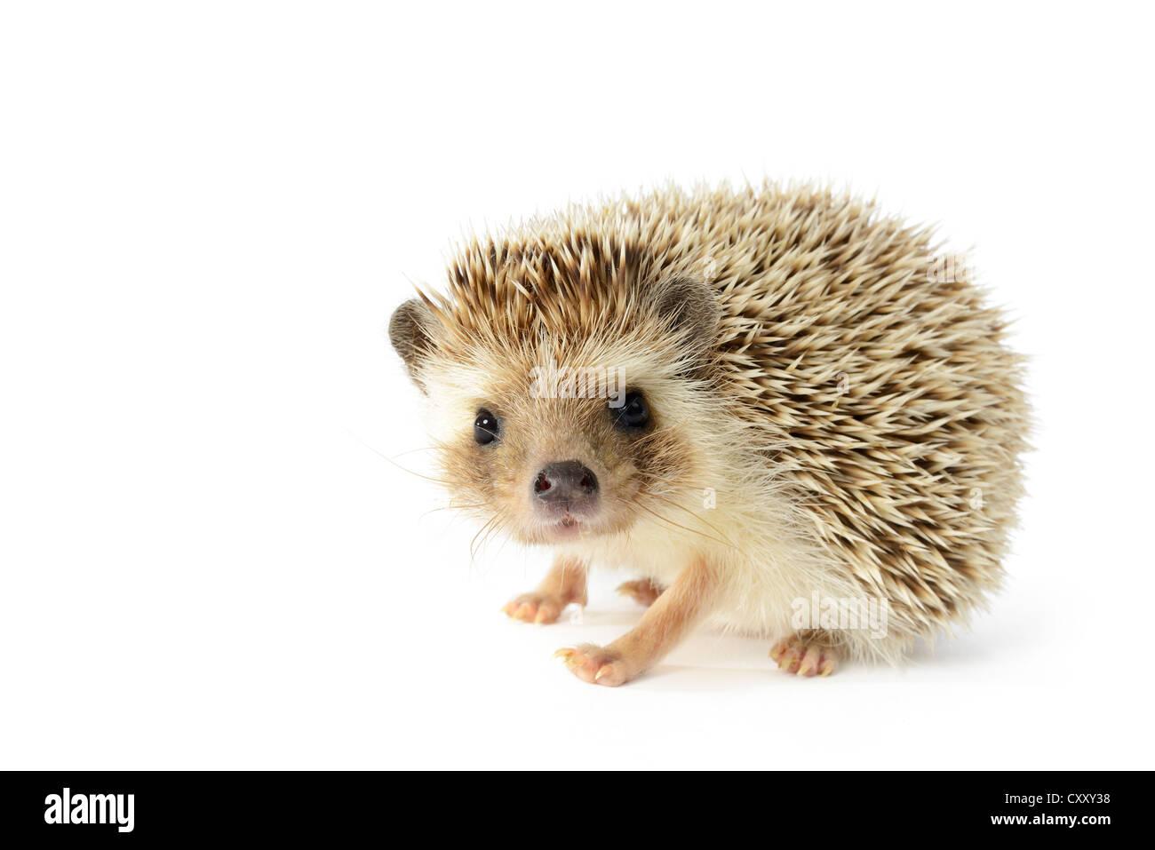 Hedgehog (erinaceus albiventris) isolated on white background. - Stock Image