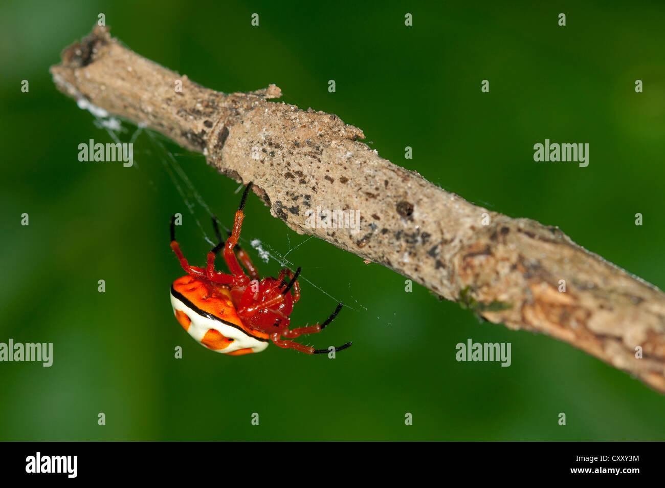 Bolas spider (Encyosaccus sexmaculatus), orb-web spider, Tiputini rain forest, Yasuni National Park, Ecuador, South - Stock Image
