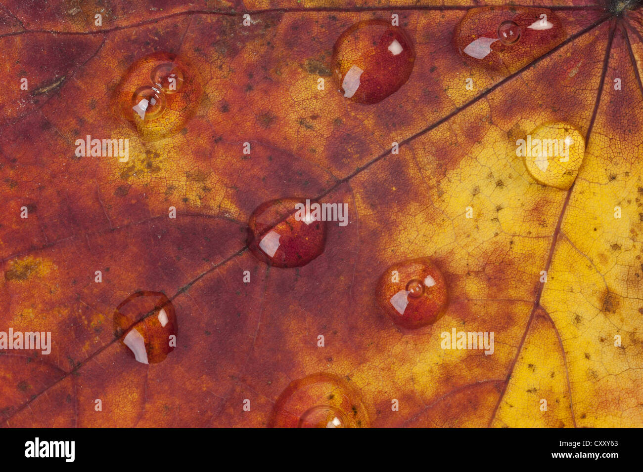 Close up of raindrops on an autumn leaf - Stock Image