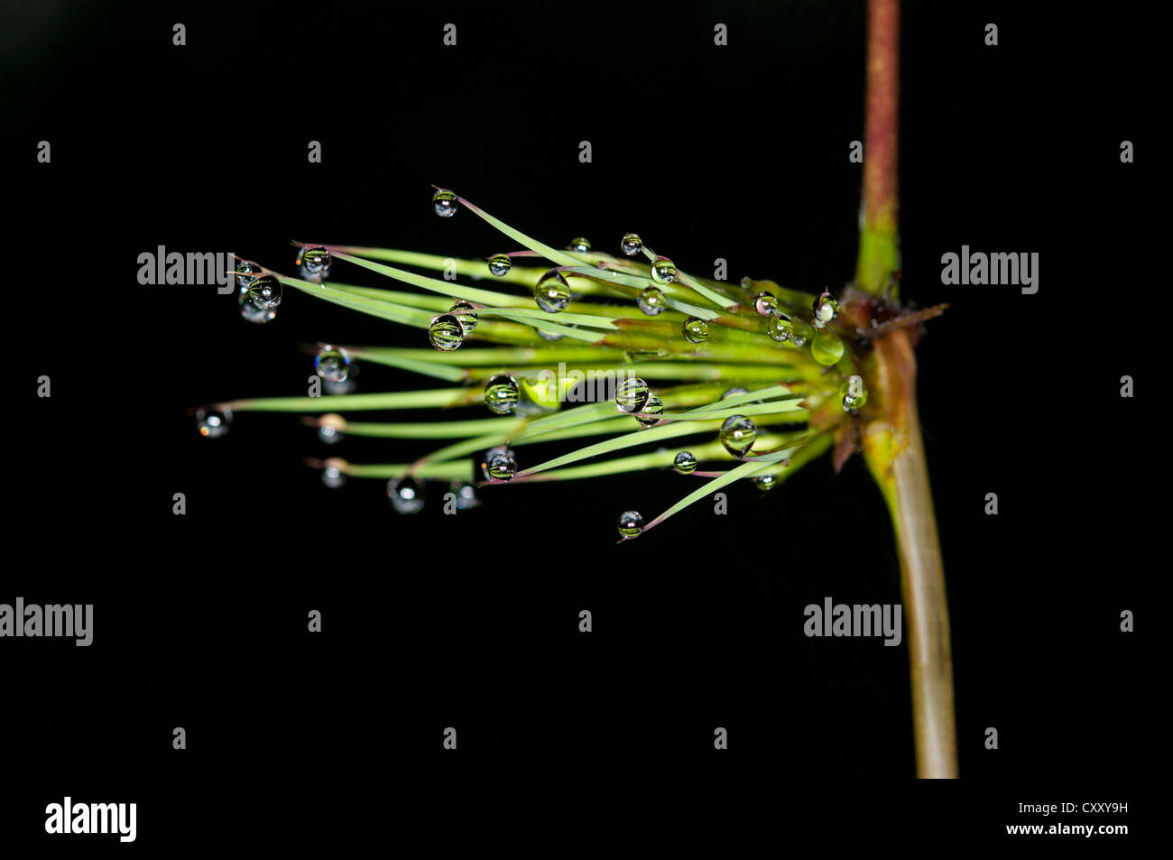 Horsetail, snake grass or puzzlegrass (Equisetales) with raindrops, Tandayapa region, Andean cloud forest, Ecuador Stock Photo