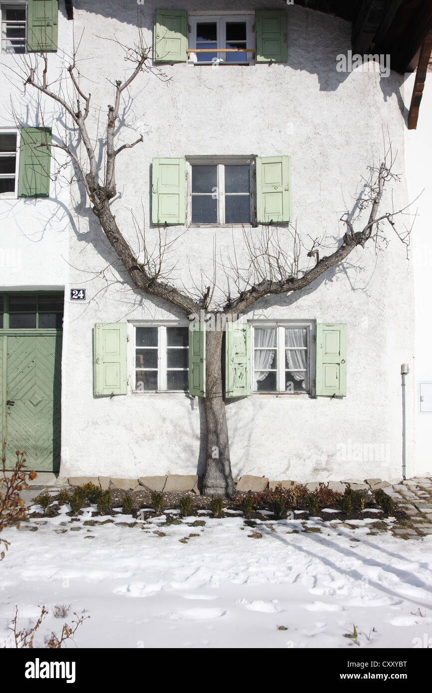 Tree on a house facade, winter, Mittenwald, Bavaria - Stock Image