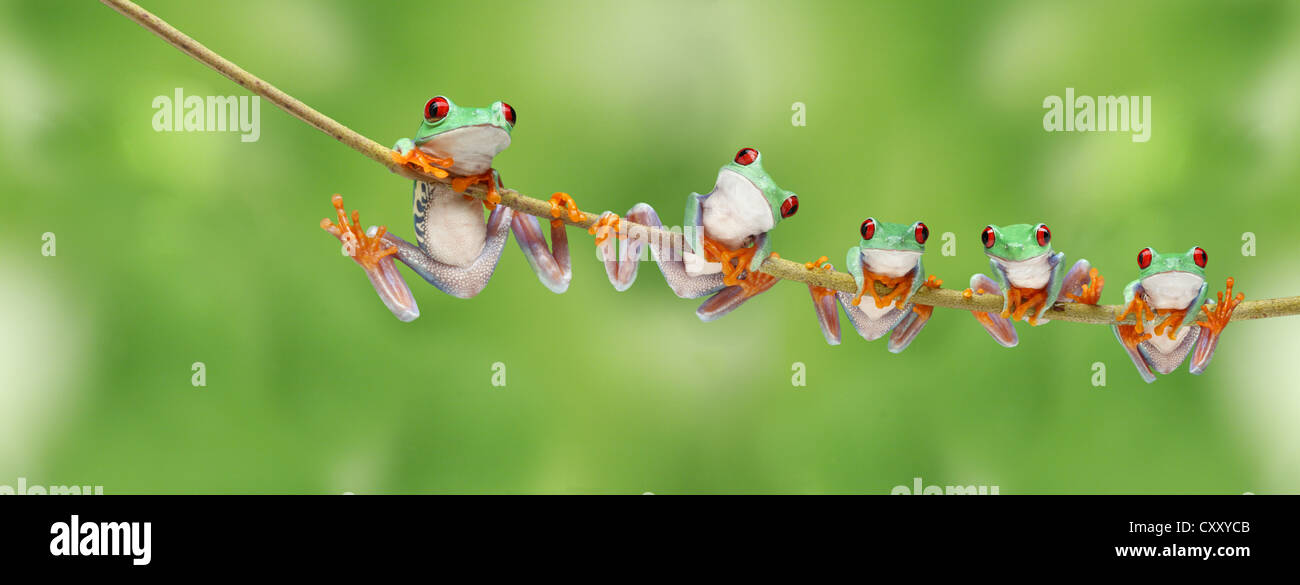 Frogs climbing on a twig - Stock Image