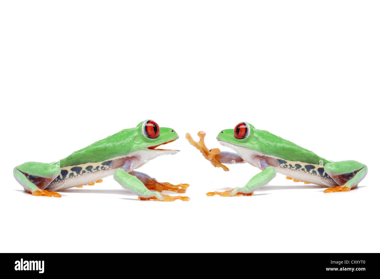 Two Red-eyed Tree Frogs (Agalychnis callidryas) sitting opposite one another Stock Photo