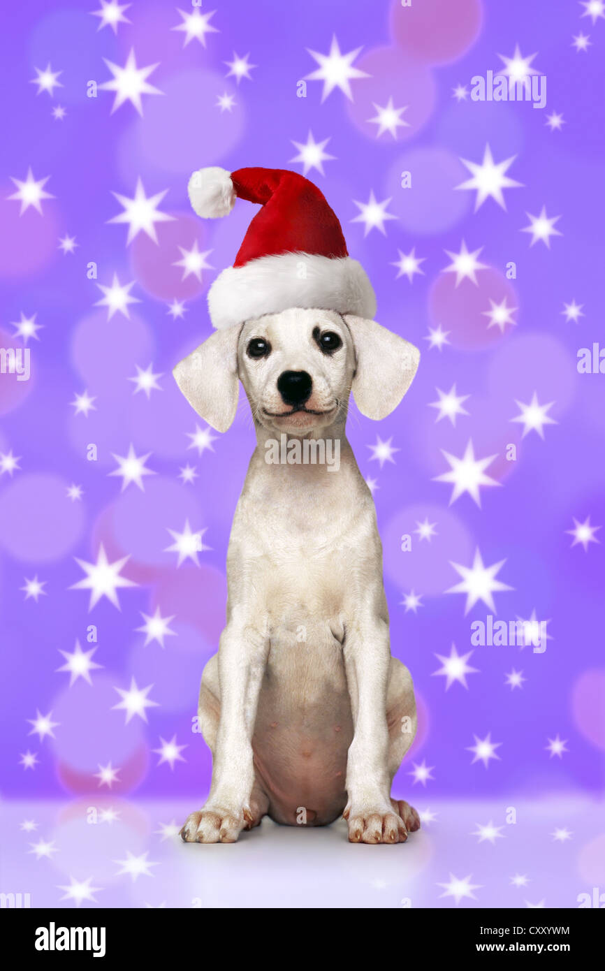 Puppy wearing a Santa Hat - Stock Image