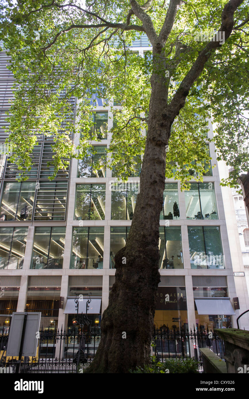 On the site of a former churchyard, an ancient protected London Plane tree rises over 70 feet high on the corner - Stock Image
