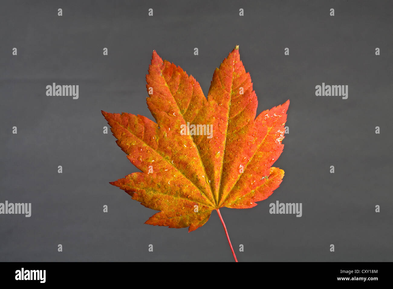 A vine maple leaf changing color in autumn - Stock Image