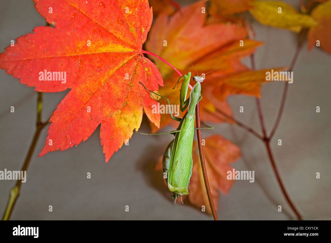 A praying mantis on an autumn maple leaf - Stock Image