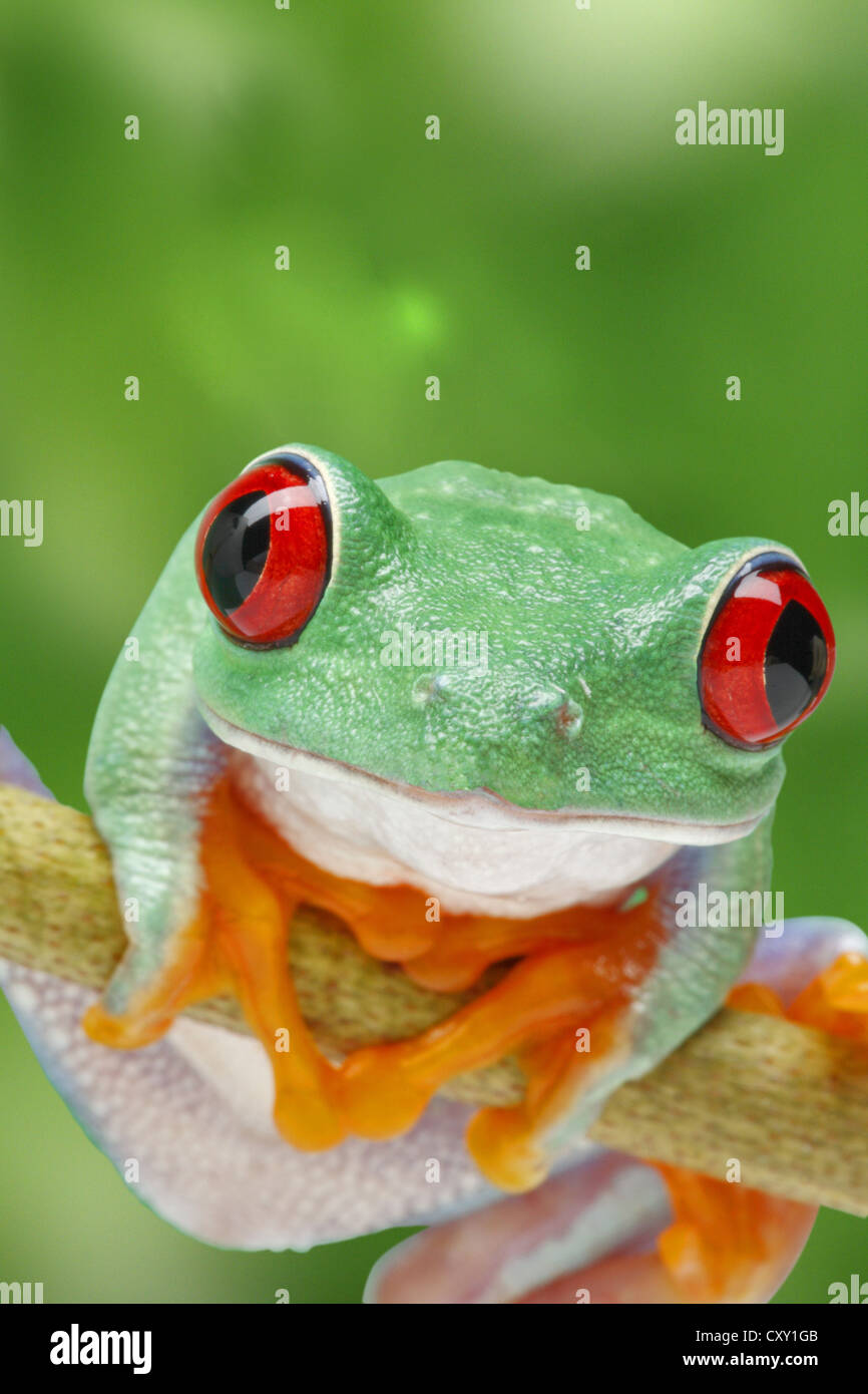 Frog on a twig - Stock Image