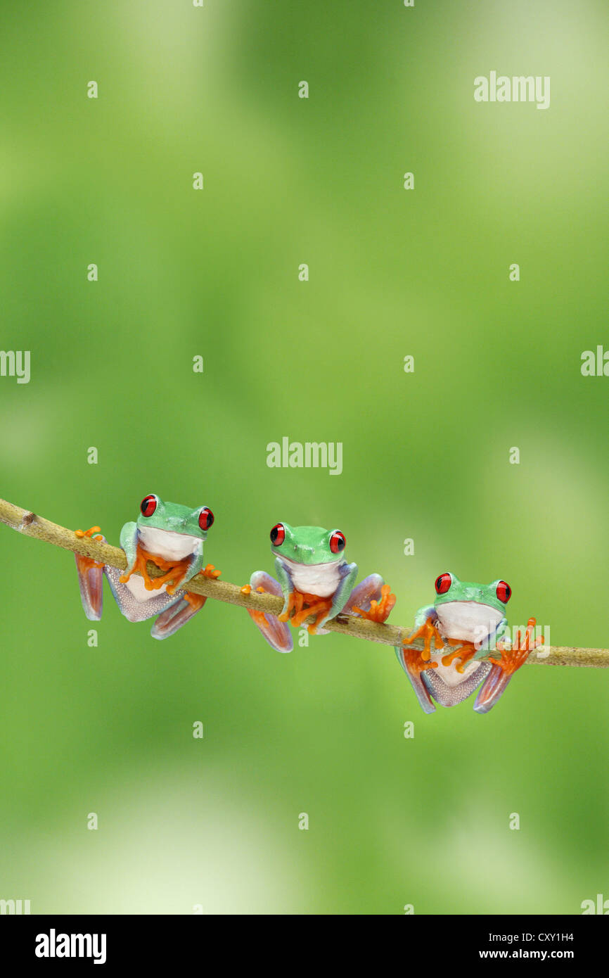 Three frogs climbing on a twig Stock Photo