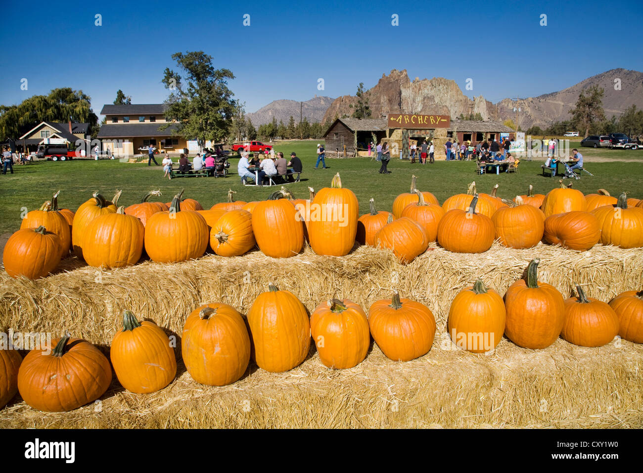 A row of large pumpkins on a field at a 'Pumpkin Patch' in October for halloween  - Stock Image