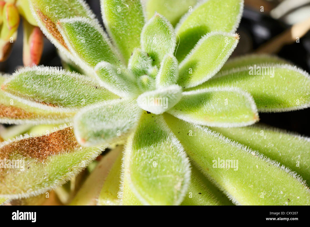 Firecracker Plant (Echeveria setosa), succulent plant with hairy leaves Stock Photo