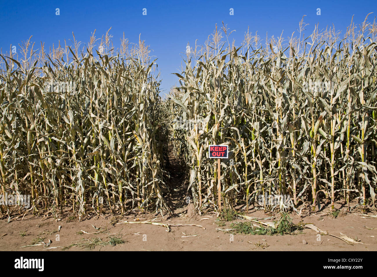 A corn patch with a keep out sign in front of it, on a farm in central Oregon. - Stock Image