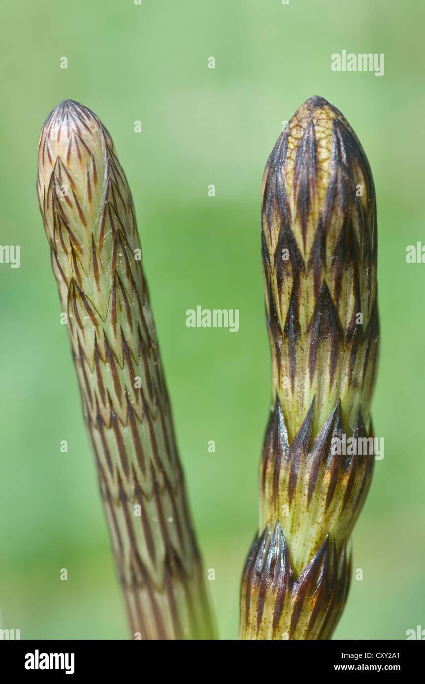 Field horsetail (Equisetum arvense), Haren, Emsland, Lower Saxony Stock Photo