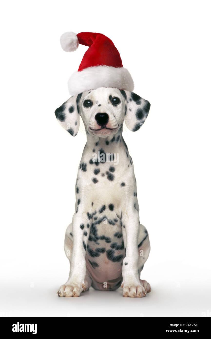Dalmatian dog, puppy, wearing a Santa hat, sitting - Stock Image