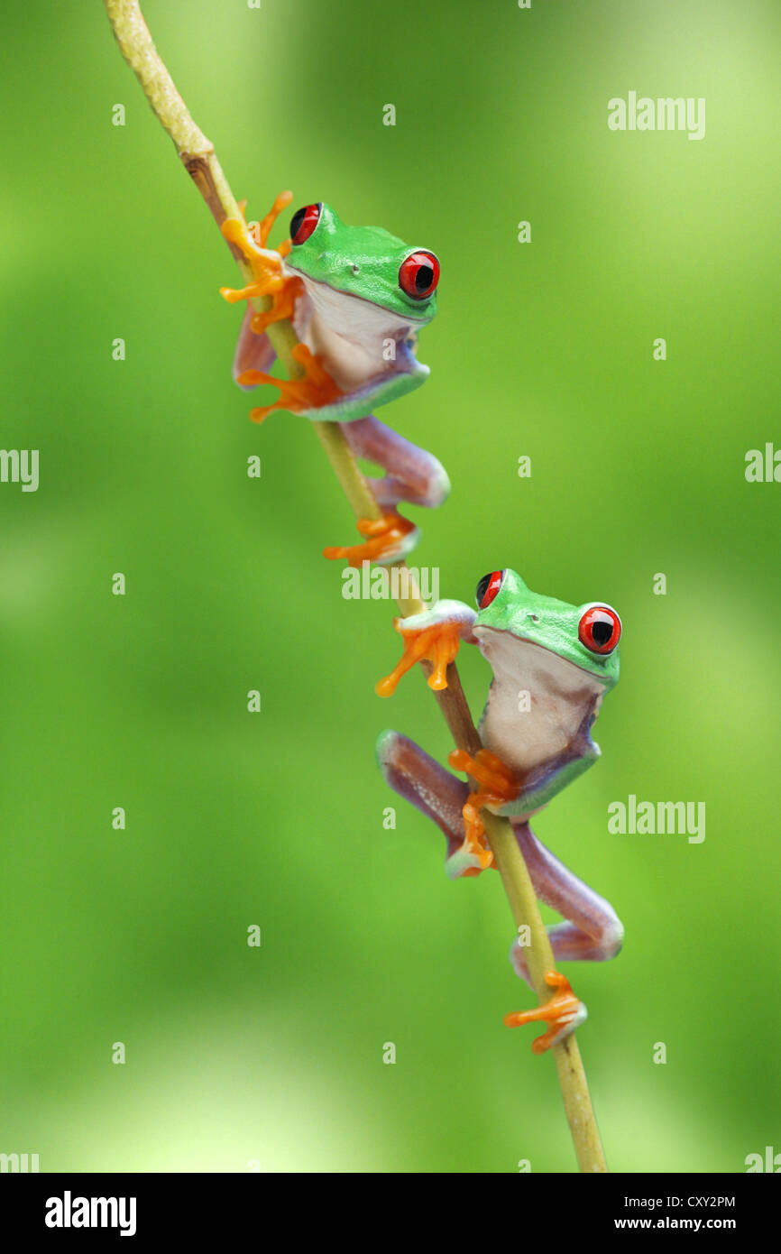 Red-eyed treefrogs (Agalychnis callidryas) sitting on a branch - Stock Image