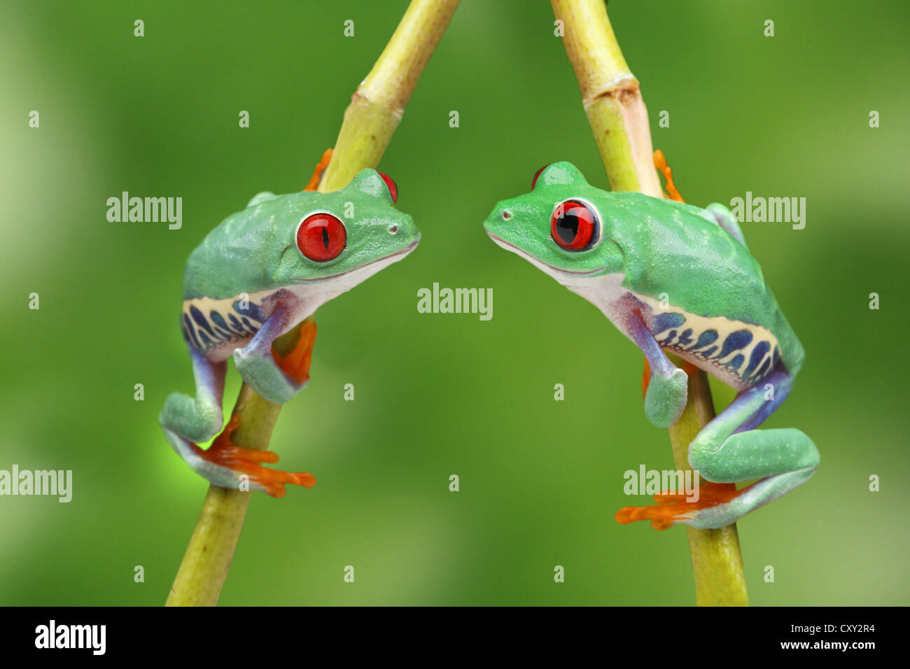 Red-eyed treefrogs (Agalychnis callidryas) sitting on a branch opposite each other, in love - Stock Image
