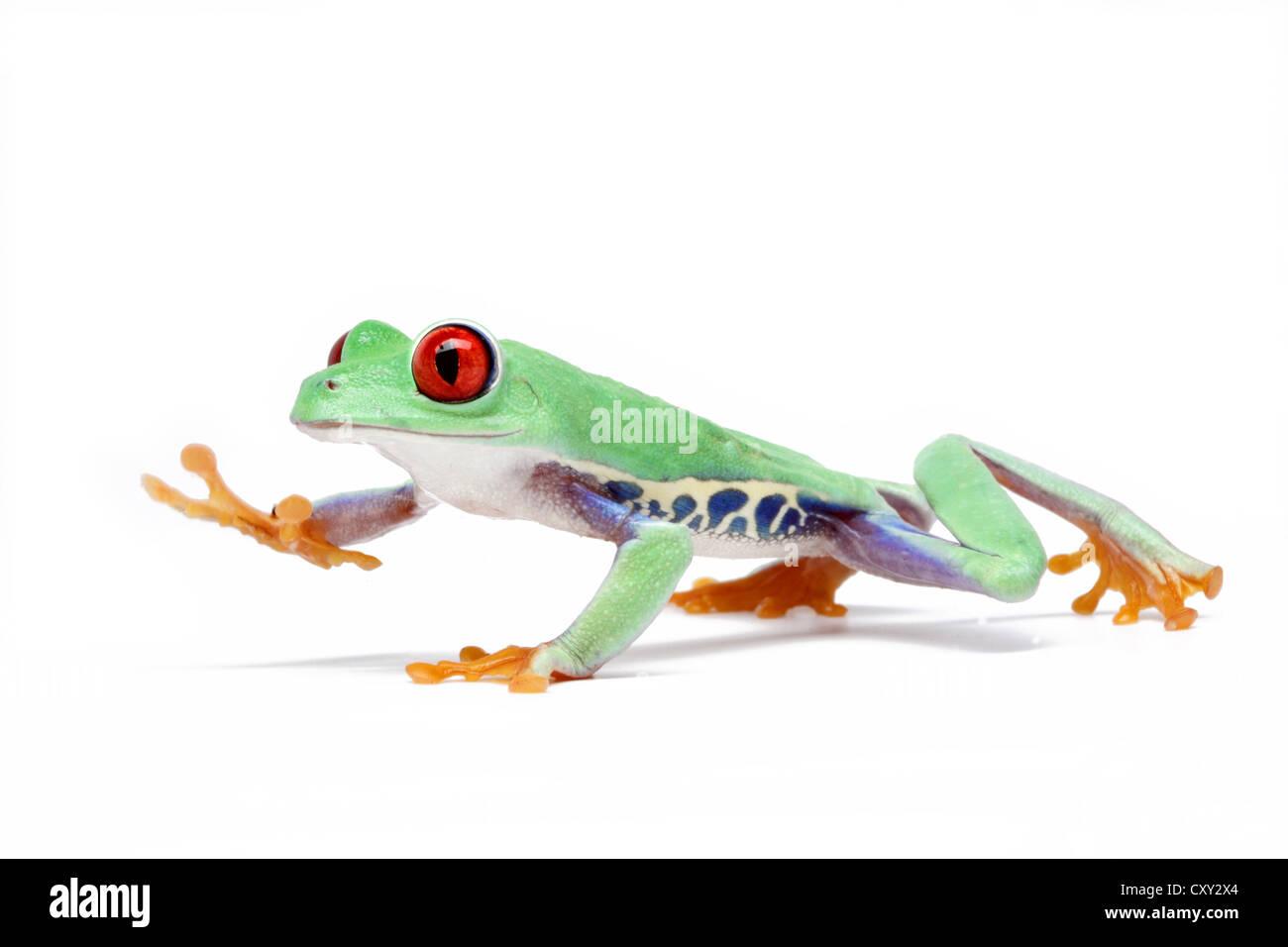 Red-eyed Tree Frog (Agalychnis callidryas) Stock Photo