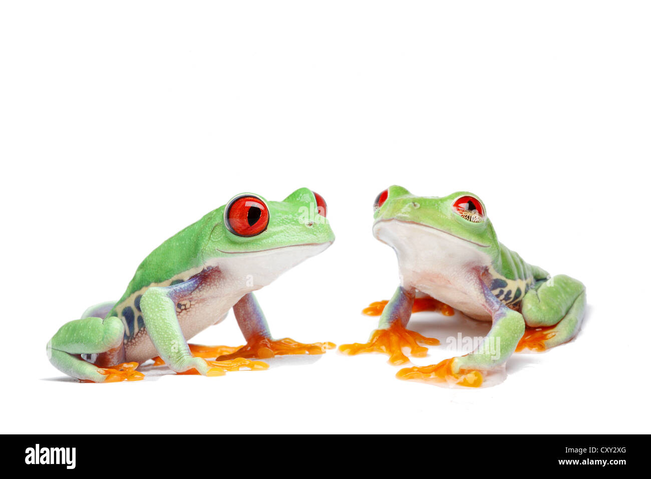 Two Red-eyed Tree Frogs (Agalychnis callidryas) Stock Photo