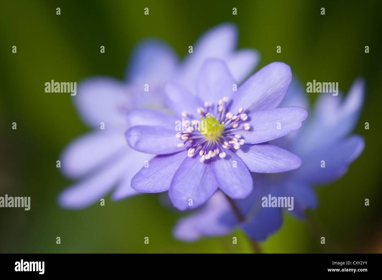 Blue Jewel (Hepatica transsylvanica), Haren, Emsland, Lower Saxony - Stock Image