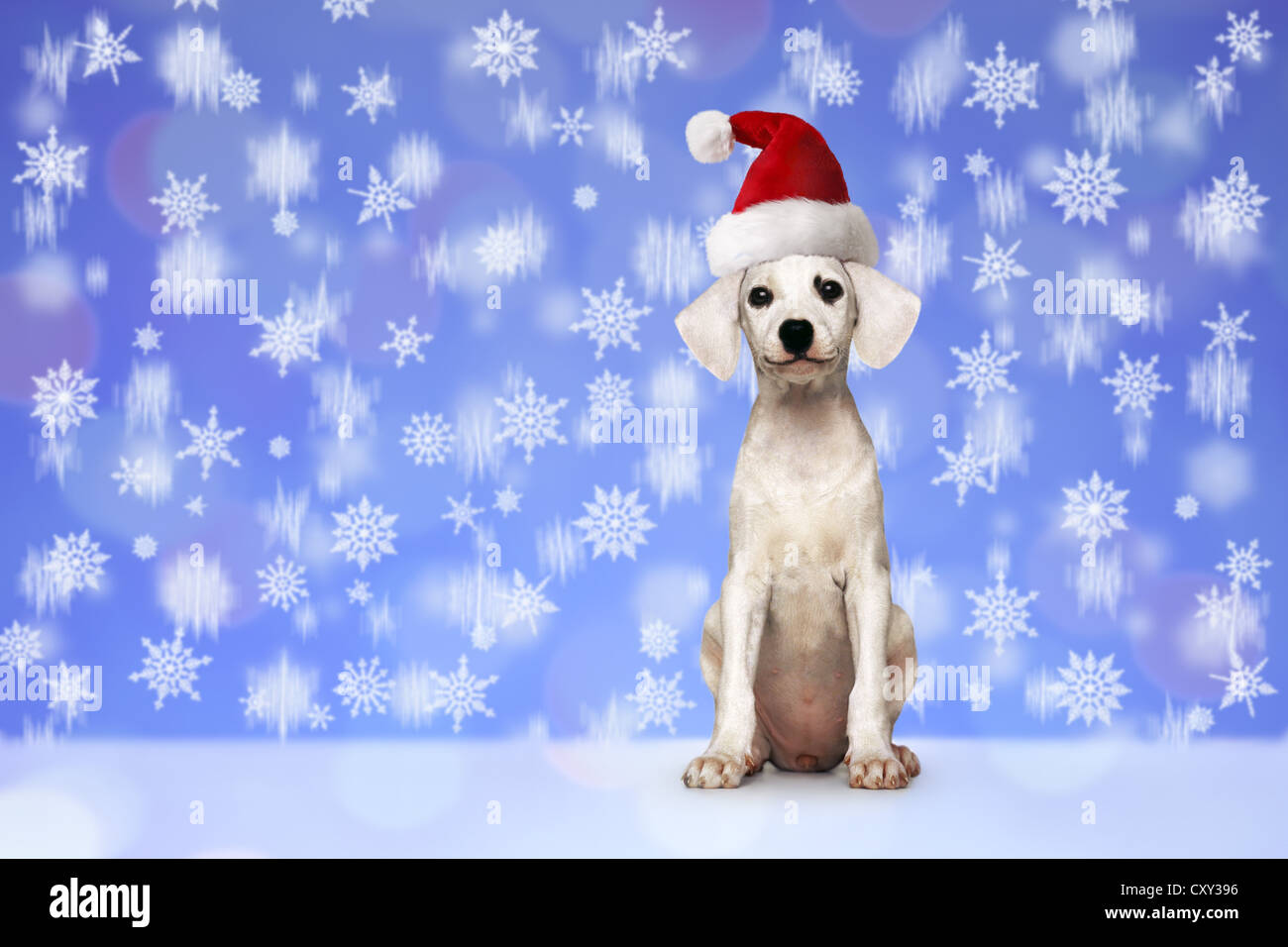 Puppy, white, seated, with a red Santa hat, snowflakes - Stock Image