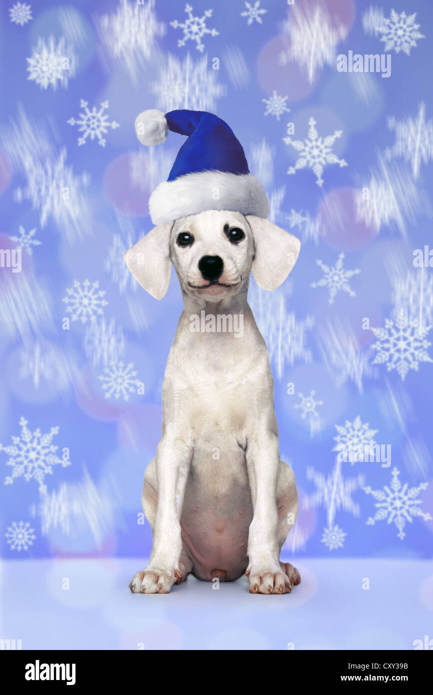Puppy, white, seated, with a blue Santa hat, snowflakes - Stock Image