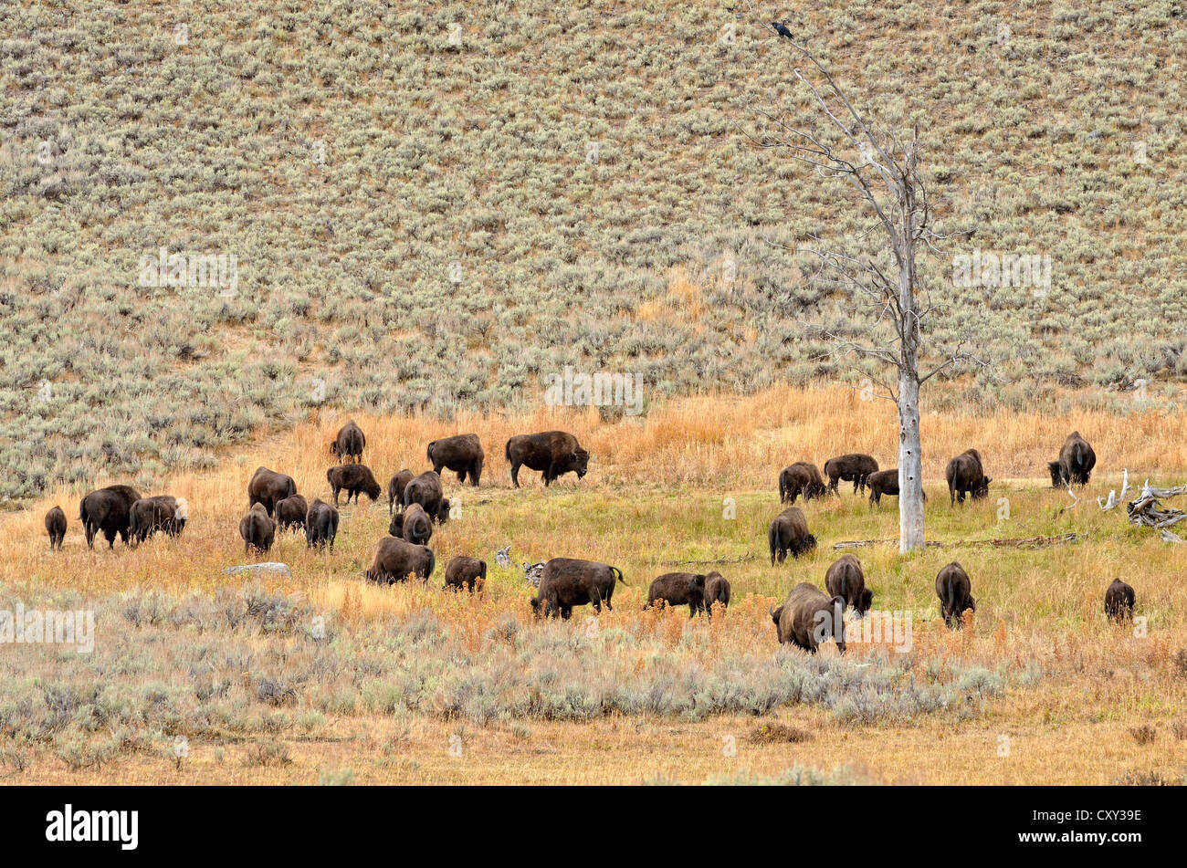 Herd of bison, American Bison (Bison bison), Lamar Valley, Yellowstone National Park, Wyoming, USA - Stock Image
