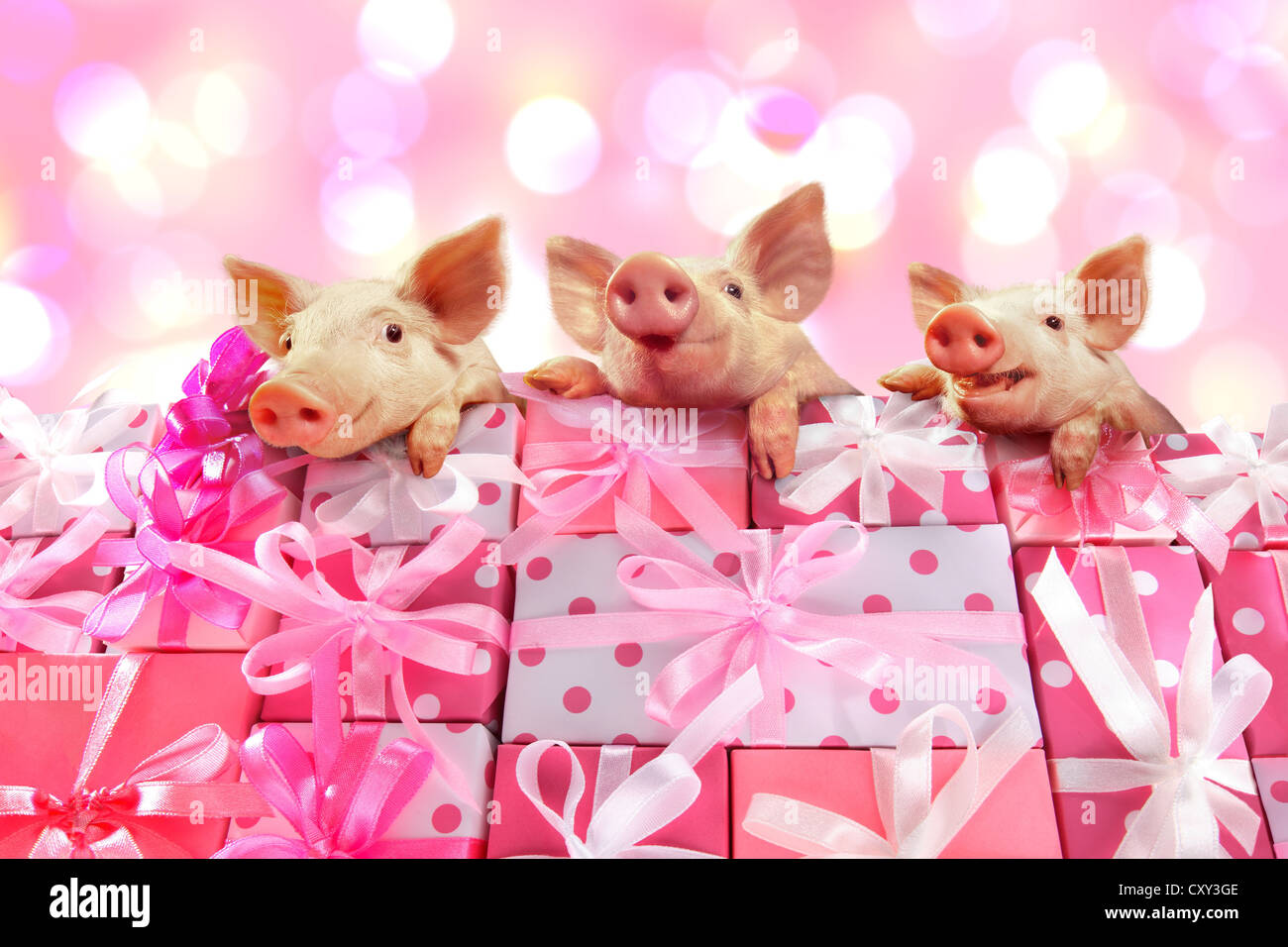 Three piglets on a stack of pink gifts - Stock Image