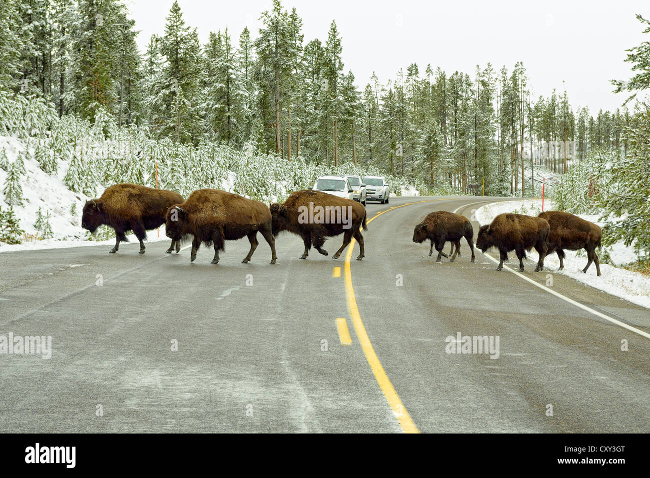 American bisons (Bison bison) crossing the road leading to Old Faithful, Yellowstone National Park, Wyoming, USA - Stock Image