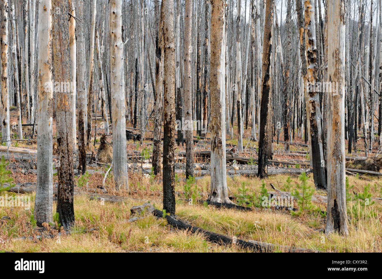Pine trees (Pinus sp.) damaged by a forest fire, Sylvan Pass, Yellowstone National Park, Wyoming, USA - Stock Image