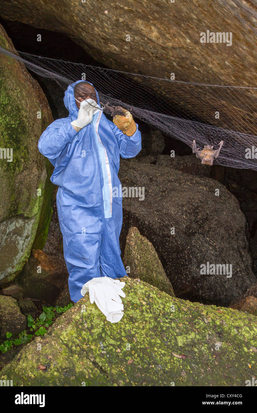 A scientist collecting bats during surveillance for emerging zoonotic diseases. - Stock Image