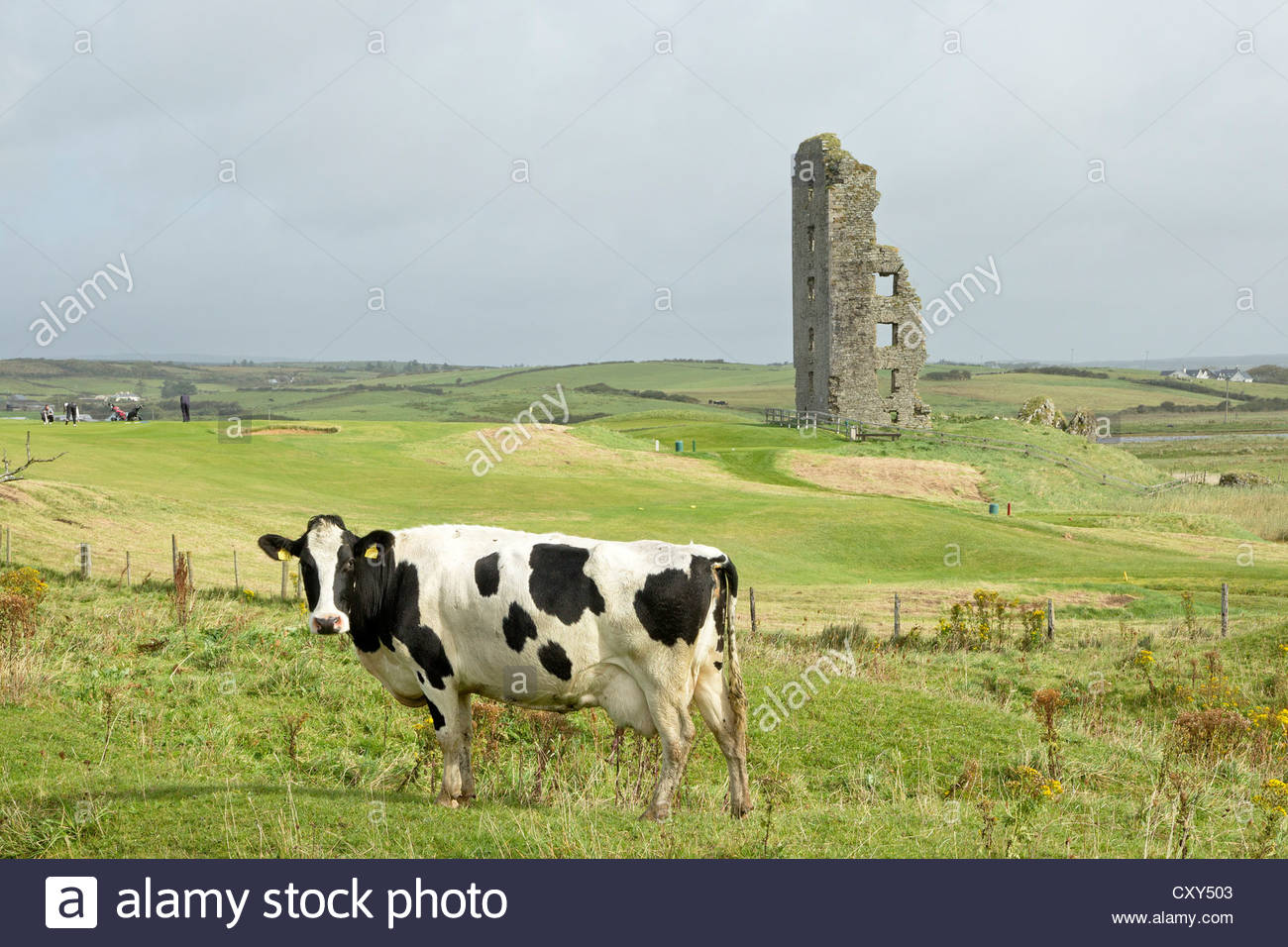cow in front of ruins, Lahinch, Co. Clare, Ireland - Stock Image