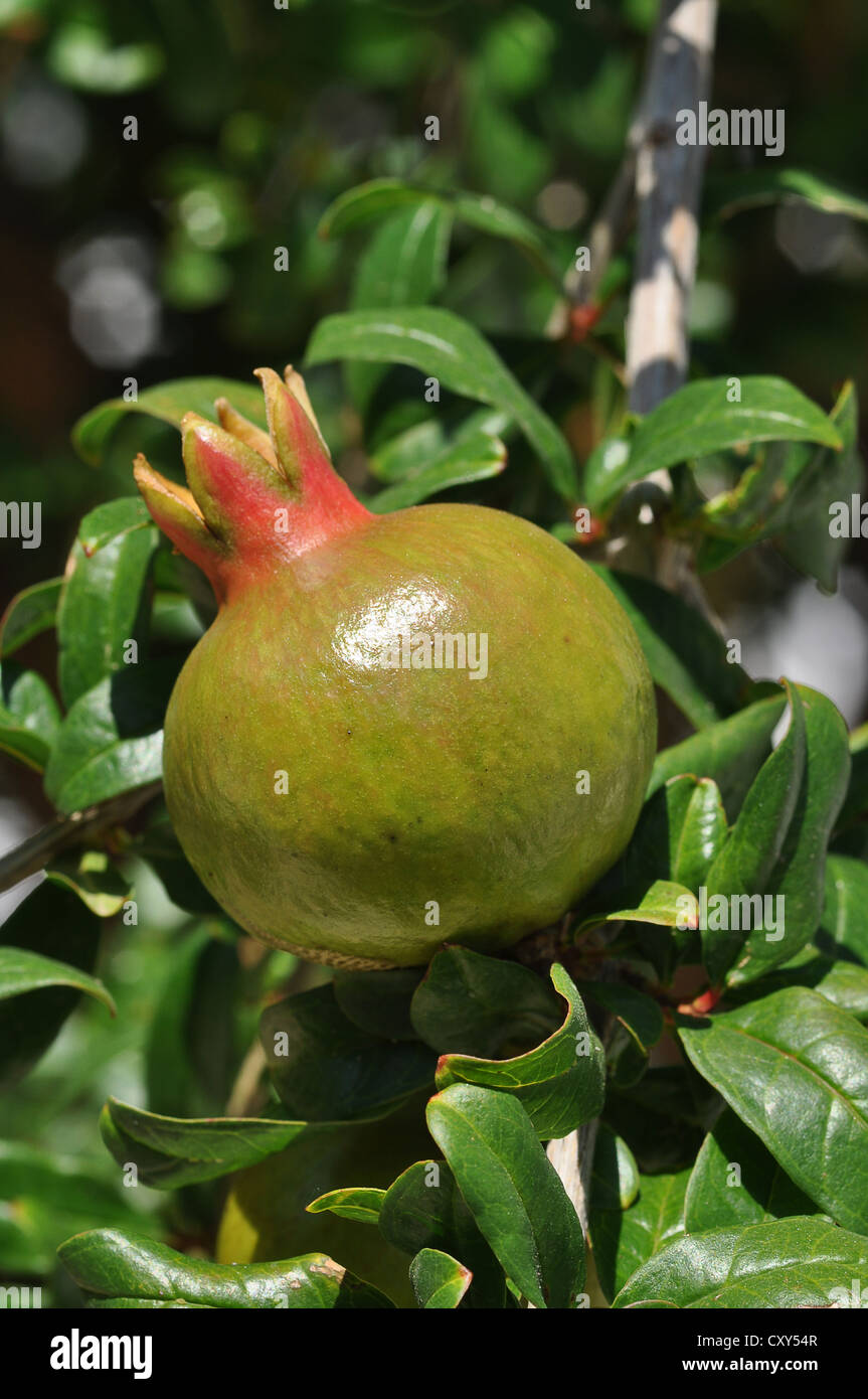 Fruit Growing On A Tree Stock Photos & Fruit Growing On A