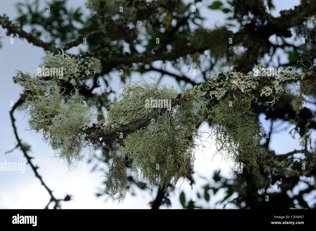 A variety of lichens growing on tree twigs. Calgary, Isle of Mull, Argyll and Bute, Scotland,  UK. - Stock Image