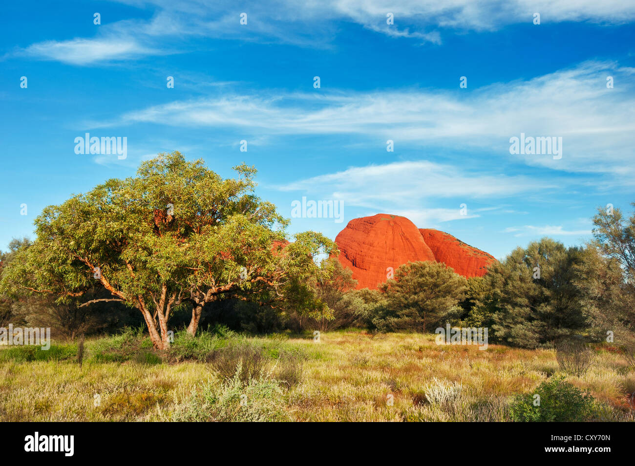 The red domes of Kata Tjuta in the middle of mulga bushland. - Stock Image
