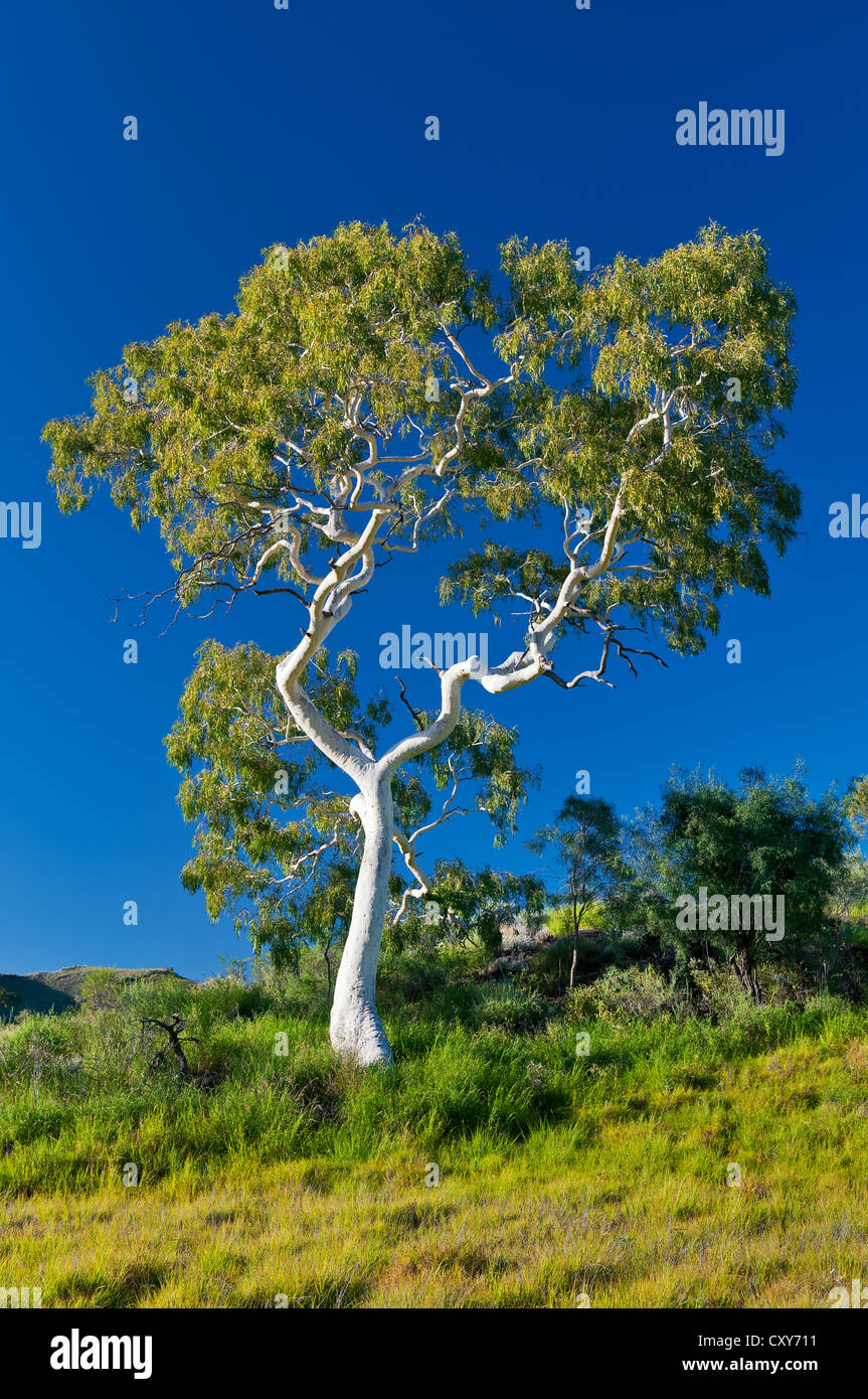 Shimmering white bark of a Ghost Gum in morning light. - Stock Image