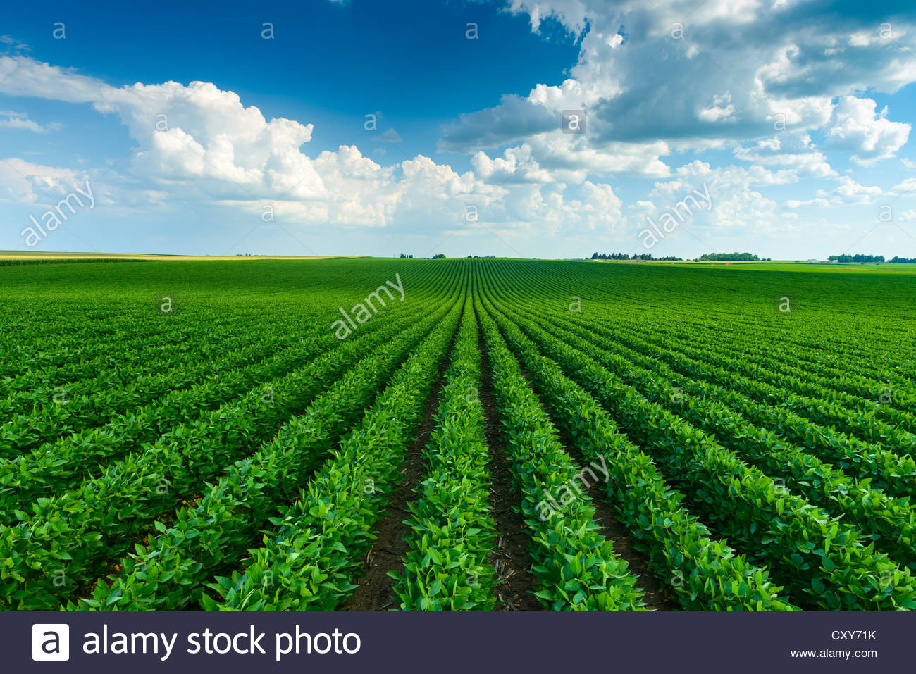 A green soybean field in central Iowa at its mid-season growth stage. - Stock Image