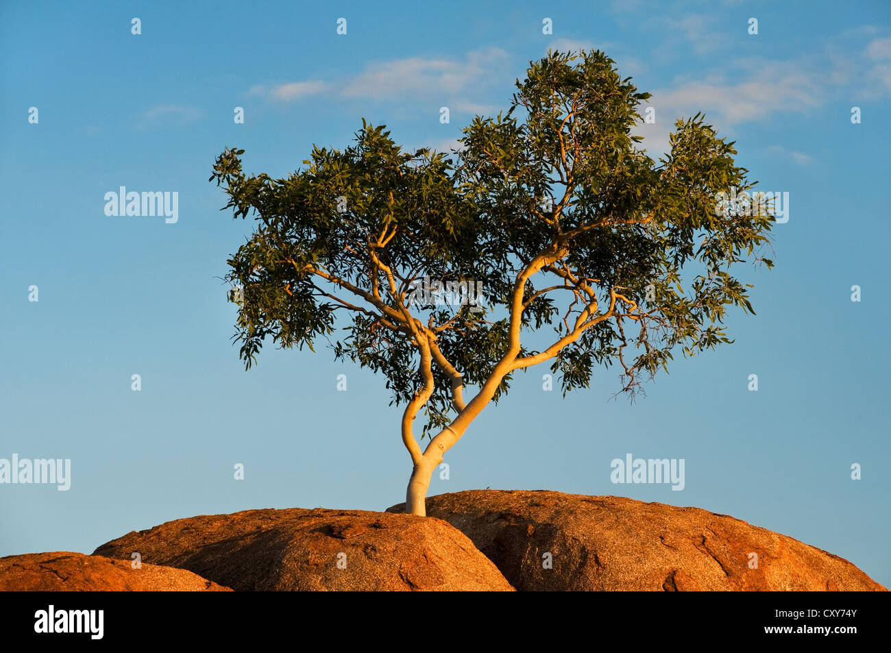 Ghost Gum growing in a crack of the Devils Marbles granite boulder. - Stock Image