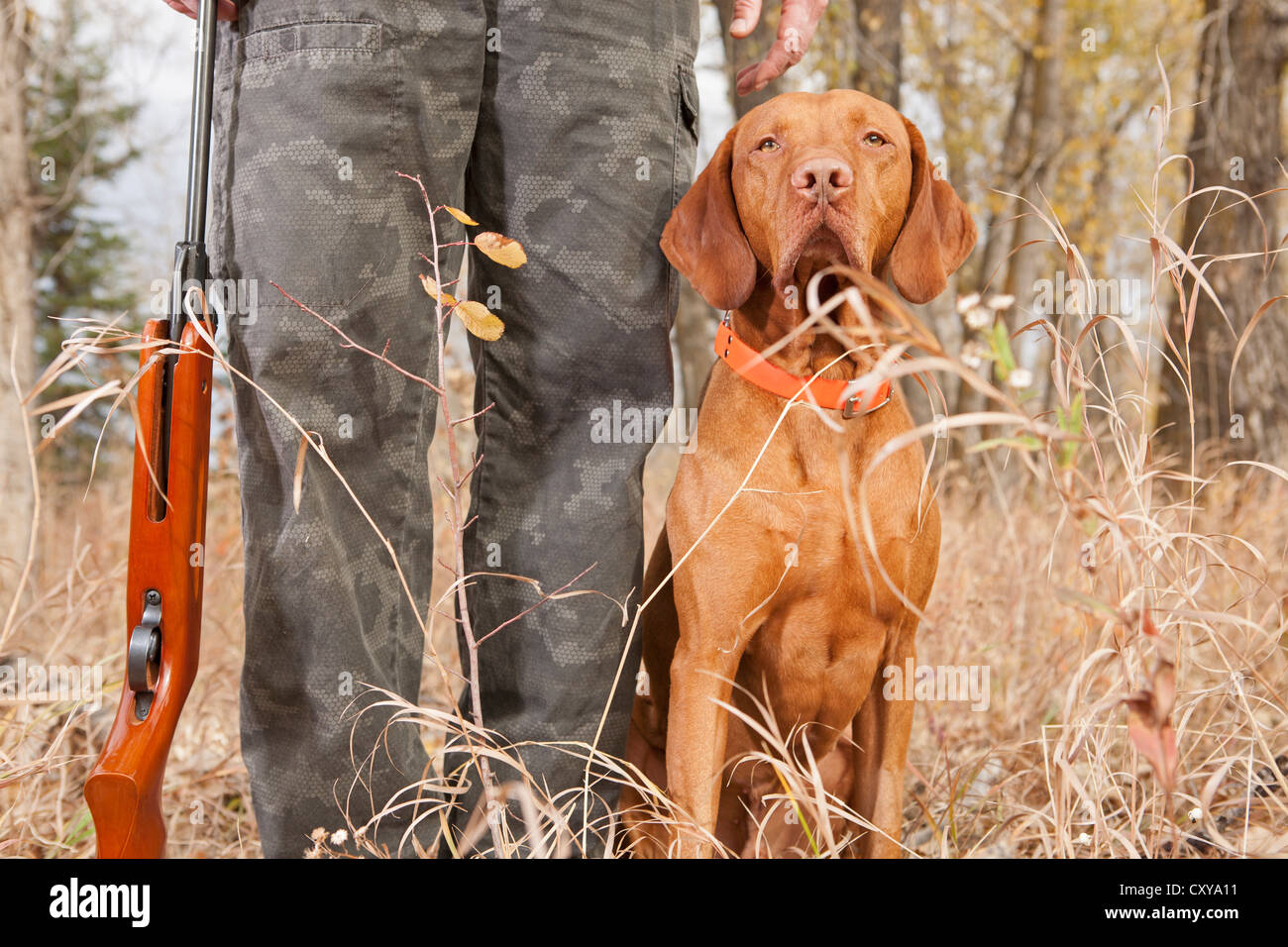 vizsla hunting dog sitting at heel outdoors - Stock Image