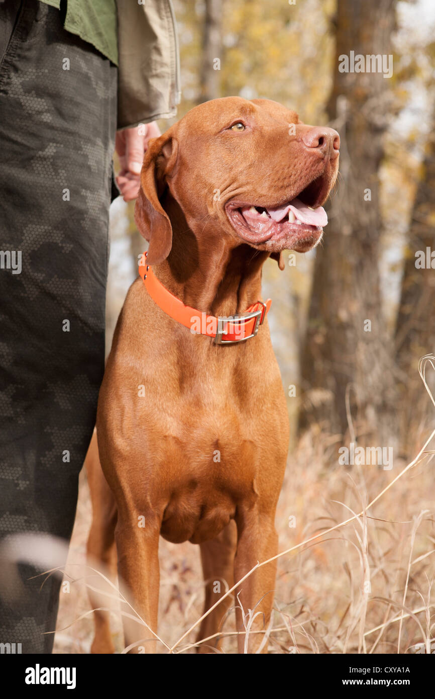 pointer hunting dog stays at heel in forest - Stock Image