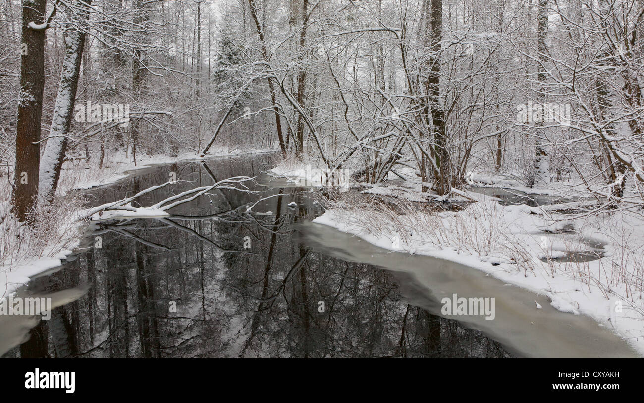 Snowy riparian forest over river with alder trees and broken one lying - Stock Image
